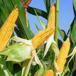 Kukuřice: Problémy způsobené suchem
