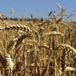 Pšenice: Vlna veder způsobuje nejistotu na trhu