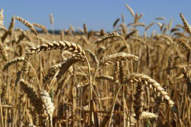 Pšenice: Stav francouzských pšenic je horší než loni
