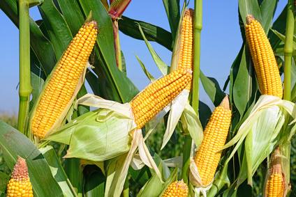 Kukuřice: Výroba ethanolu stále klesá